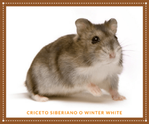 CRICETO SIBERIANO O WINTER WHITE