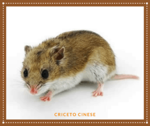 CRICETO CINESE - carattere