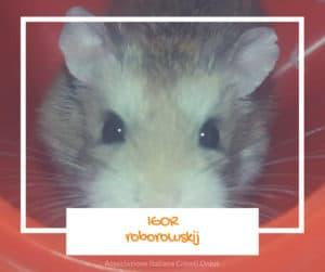 Igor, criceti roborowskij maschio