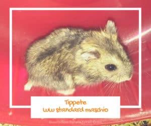Tippete, winter white standard maschio